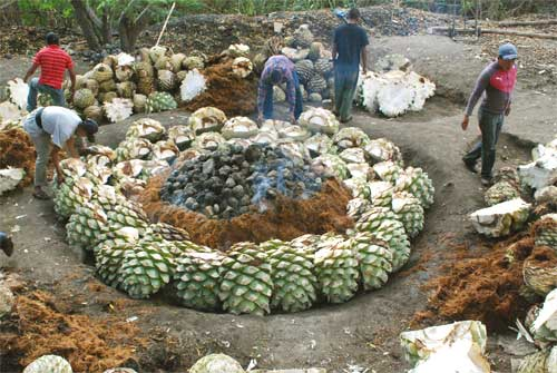 The hearts of the agaves are piled over a layer of moist fibres upon the rocks.