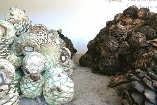 Raw and steamed agaves (right).