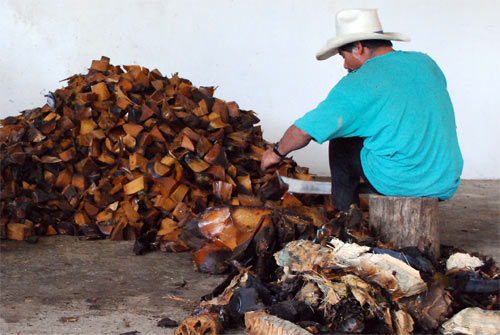 Cutting and sorting of the agave pieces. Only proper pieces get mashed.
